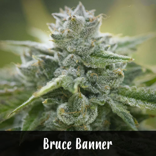 bruce-banner-strain1