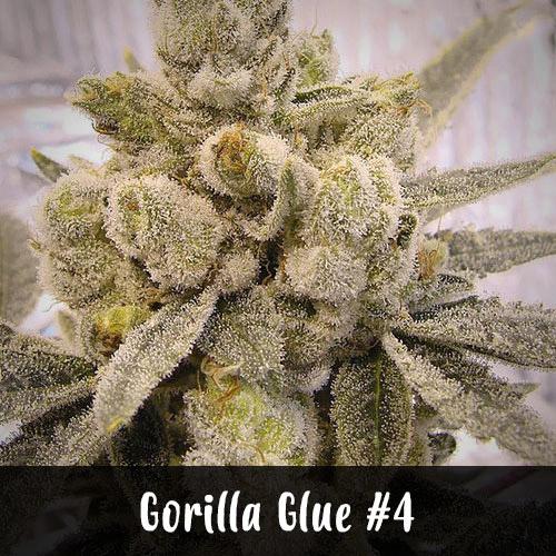 gorilla-glue-strain1