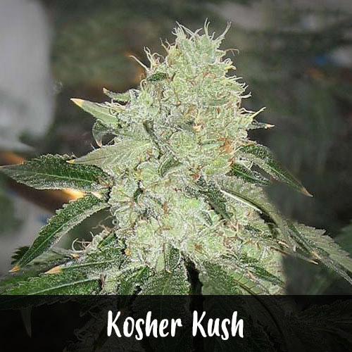 kosher-kush-strain1