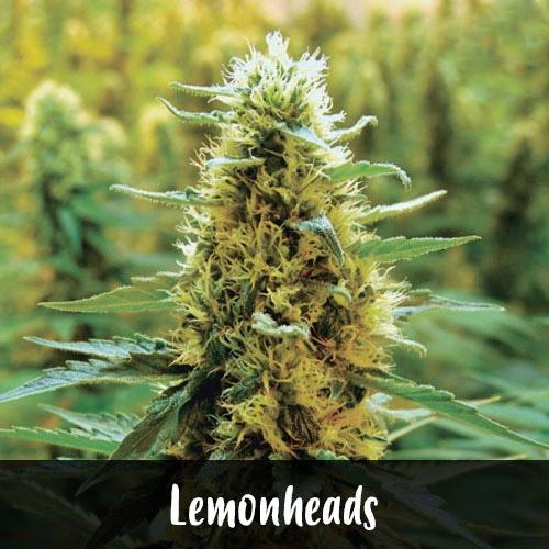 lemonheads-strain1