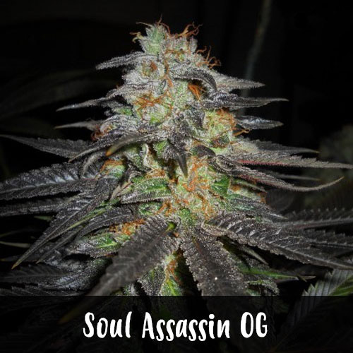 soul-assassin-og-strain1