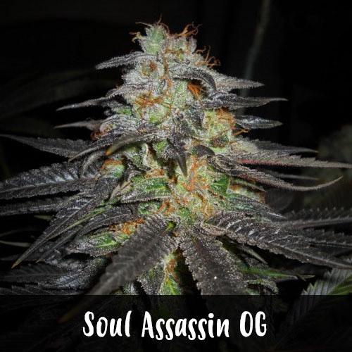 soul-assassin-og-strain1