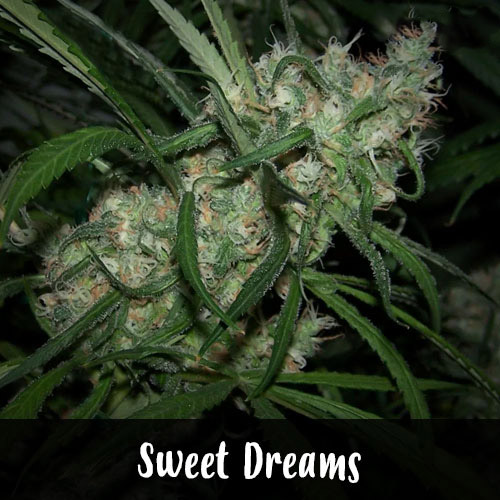 sweet-dreams-strain1