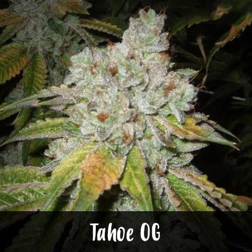 tahoe-og-strain1