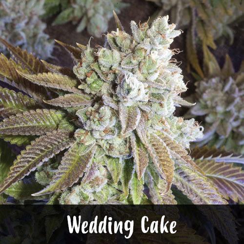 wedding-cake-strain1