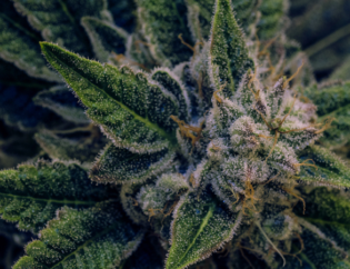 How to Increase Terpenes When Growing Cannabis