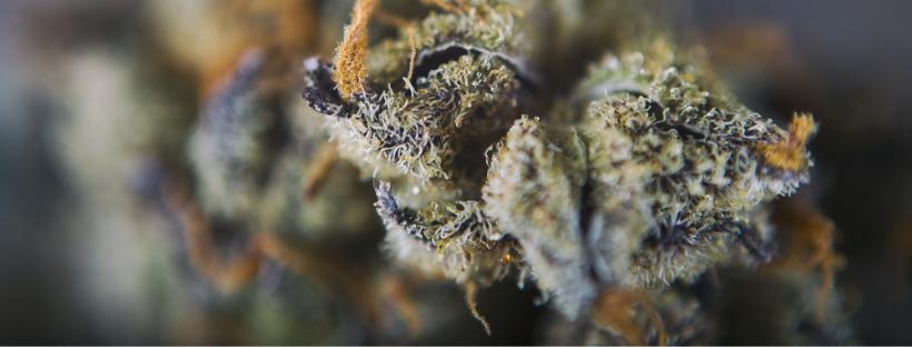 How to Increase Terpenes When Growing Marijuana